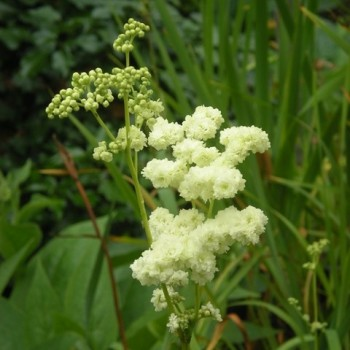 Filipendula ulmaria  'Flore Pleno'