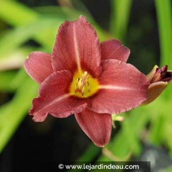 Hemerocallis  'Little Business'