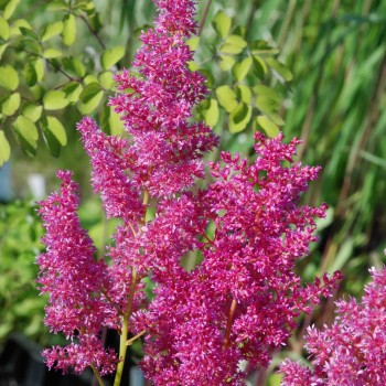 Astilbe japonica 'Mainz'