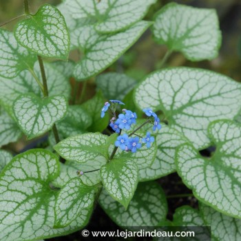 BRUNNERA macrophylla 'Jack Frost' ®