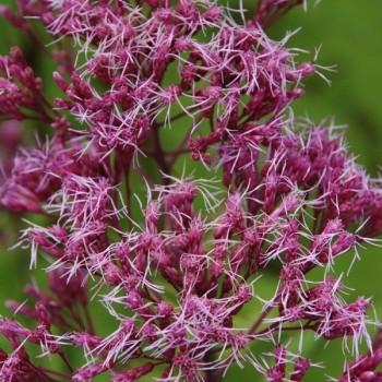 Eupatorium maculatum 'Purple Blush'