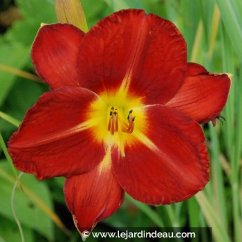 Hemerocallis 'James Marsh'