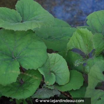 Petasites japonicus f. purpureus
