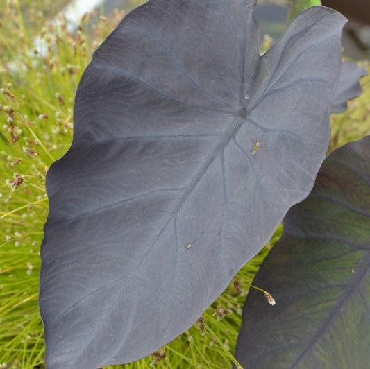 colocasia 39 black magic 39 vivace tropicale sol humide le. Black Bedroom Furniture Sets. Home Design Ideas