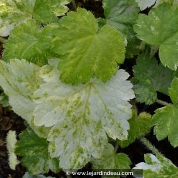 Mitella japonica 'Variegata'