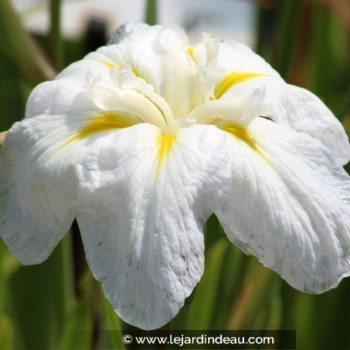 Iris ensata 'Apollo'