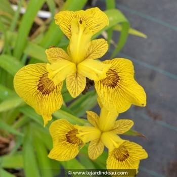 Iris pseudacorus 'Roy Davidson'