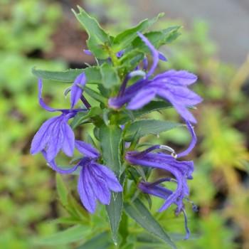 Lobelia sessilifolia