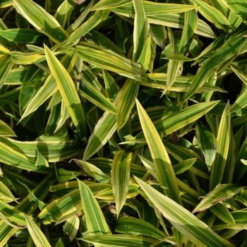 Carex siderosticha 'Island Brocade'