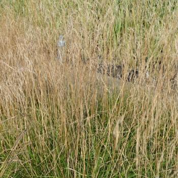 Deschampsia cespitosa 'Bronzeschleier'