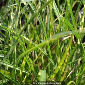 Miscanthus sinensis  'Little Zebra'