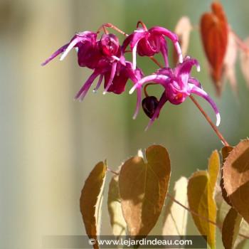 EPIMEDIUM grandiflorum 'Crimson Beauty'