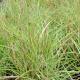 Miscanthus sinensis 'Yakushima Dwarf'