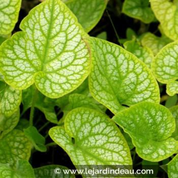 BRUNNERA macrophylla 'Mr Morse'®