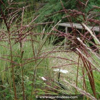 Miscanthus sinensis  'Ferner Osten'