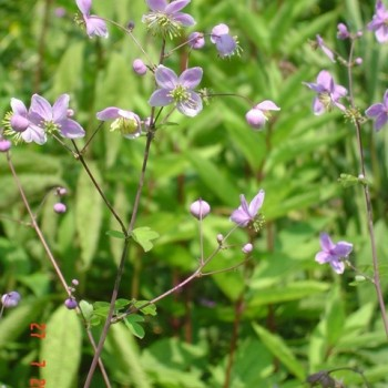 Thalictrum rochebrunianum