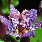 Tricyrtis formosana  'Dark Beauty'