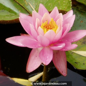 Nymphaea  'Fire Crest'