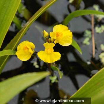 Utricularia vulgaris
