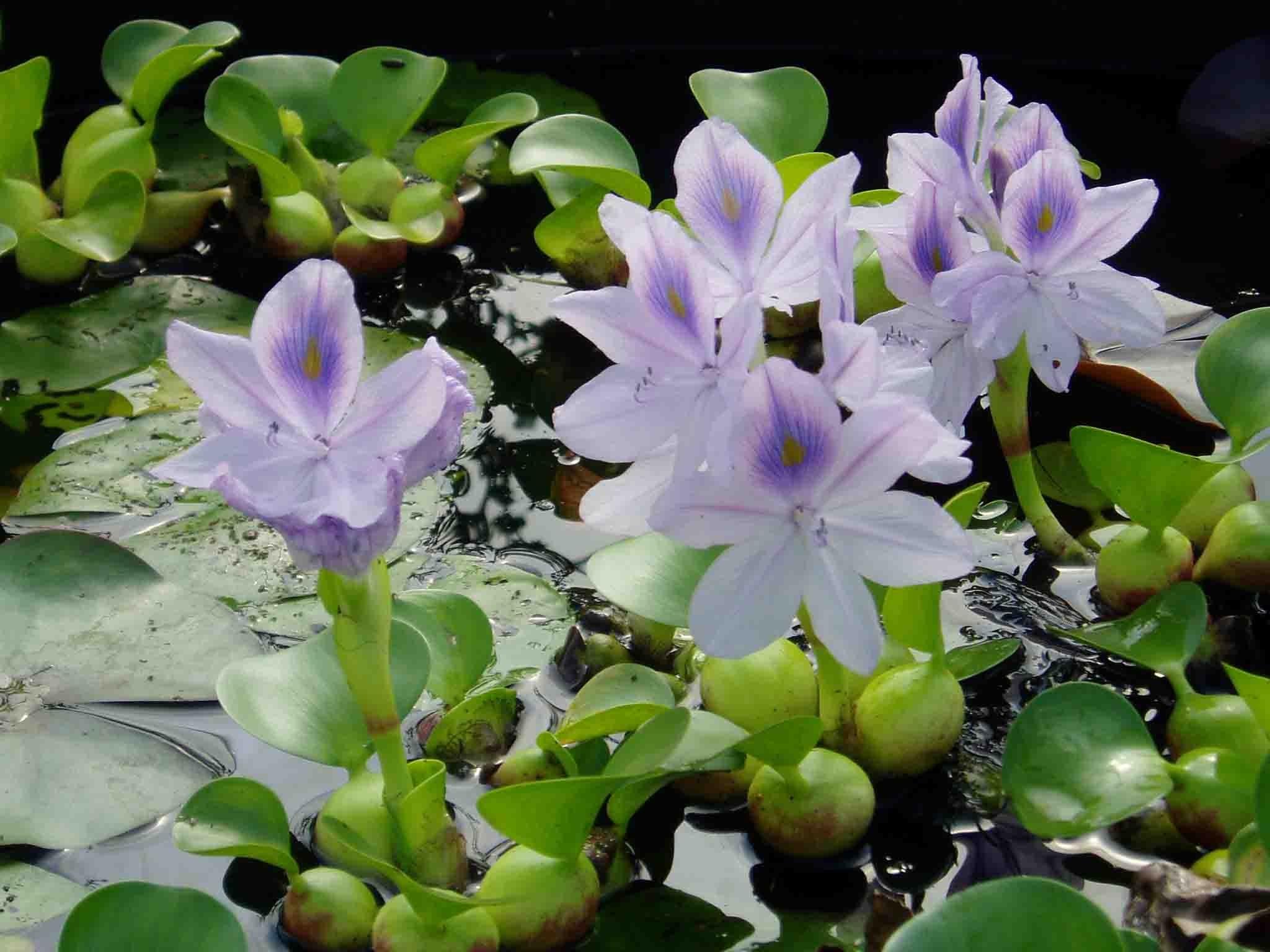 eichornia crassipes jacinthe d 39 eau filtrante bassin le. Black Bedroom Furniture Sets. Home Design Ideas