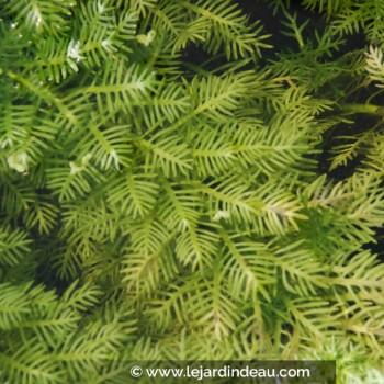 Hottonia palustris
