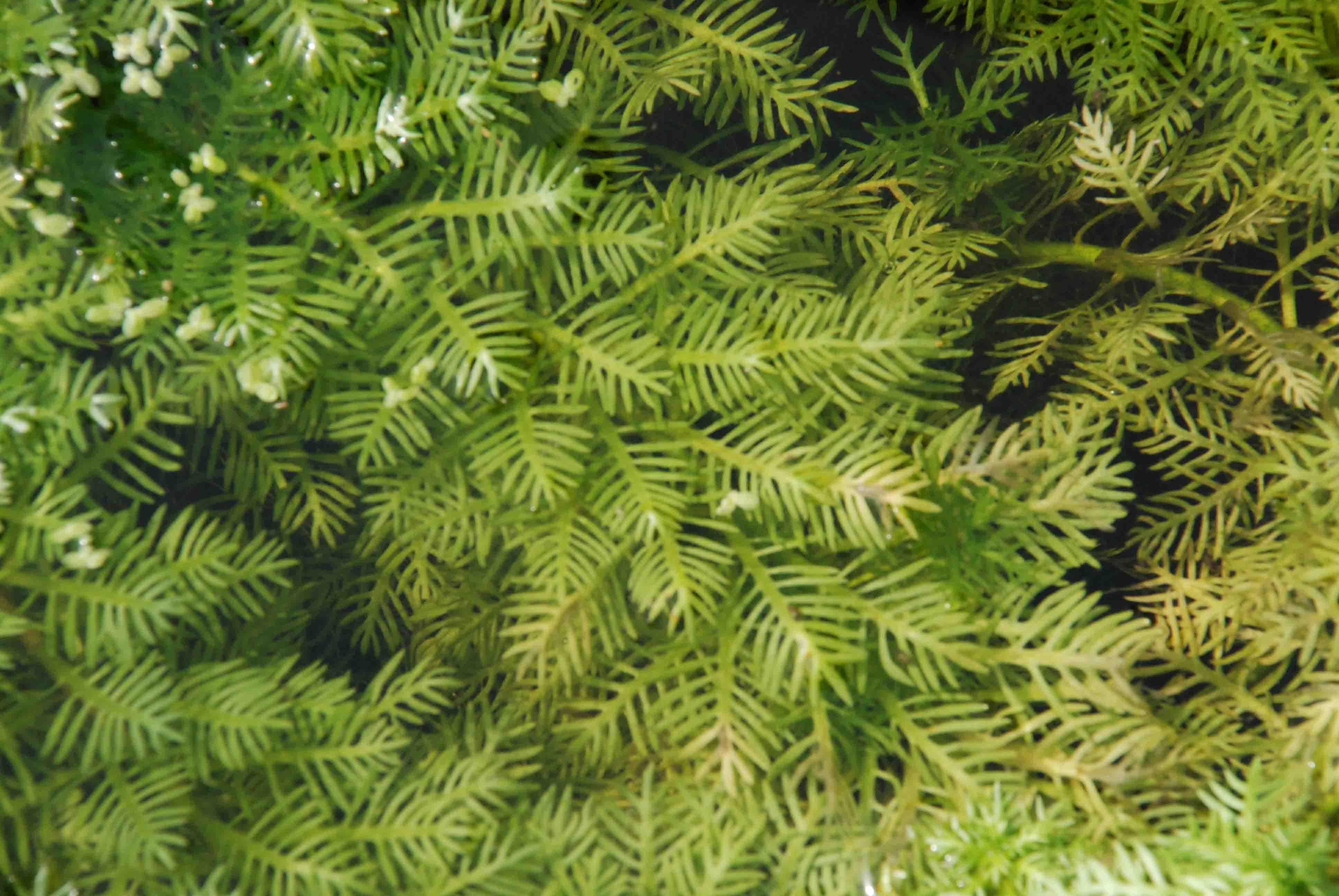 hottonia palustris plante oxyg nante petit bassin le jardin d 39 eau. Black Bedroom Furniture Sets. Home Design Ideas