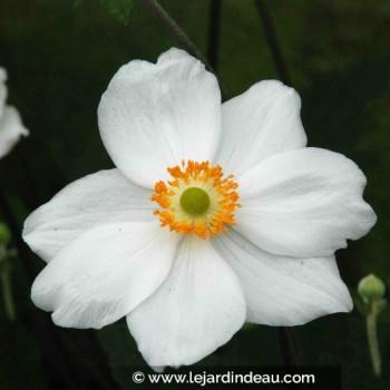 Anemone hybride 'Honorine Jobert'