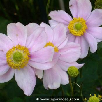 Anemone hybride  'Königin Charlotte'