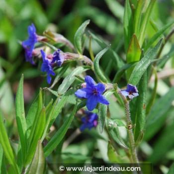 Buglossoides purpureo-caerulea
