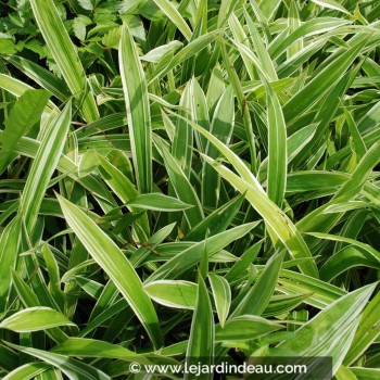 Carex siderosticha 'Variegata'