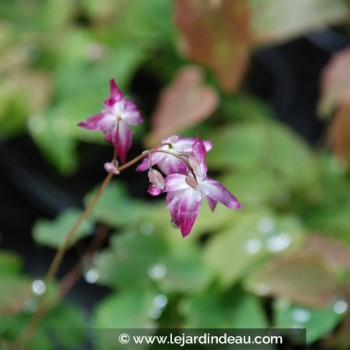 Epimedium x youngianum  'Merlin'