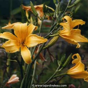 Hemerocallis  'Mission Bells'