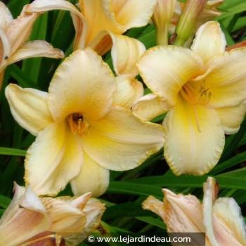 Hemerocallis  'Etched in Gold'