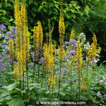 Ligularia stenocephala  'The Rocket'
