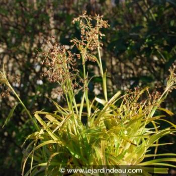 Luzula sylvatica  'Aurea'