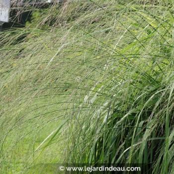 Molinia caerulea subsp. arundinacea  'Transparent'