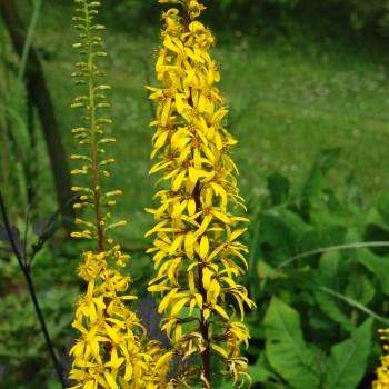 Ligularia wilsoniana