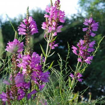 Physostegia virginiana  'Red Beauty'