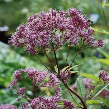 Eupatorium purpureum  'Phantom'