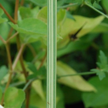 Schoenoplectus lacustris subsp. tabernaemontani  'Albescens'